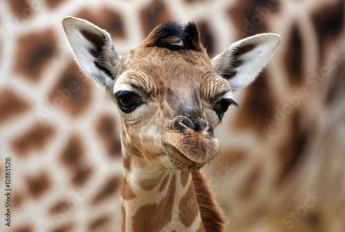 Foto op Canvas Giraffe Giraffenportrait