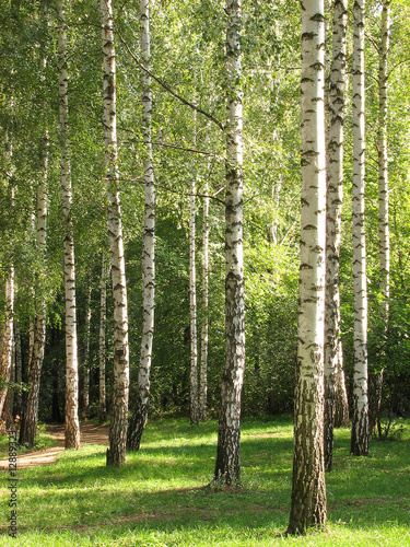 Photo Stands Birch Grove The Green Forest