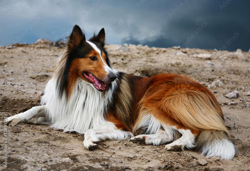 Fototapeta scottish collie dog
