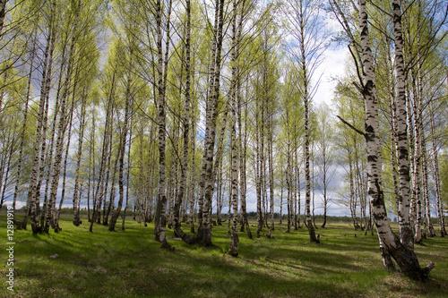 Deurstickers Berkbosje Birches in spring