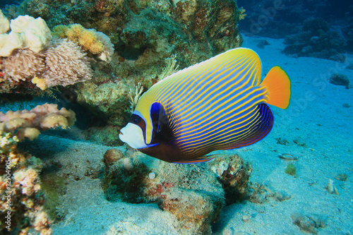Photo Emperor Angelfish (Pomacanthus imperator)