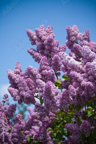 Foto-Duschvorhang - lilacs