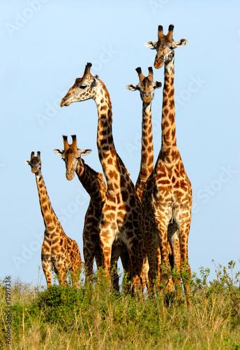 Foto-Flächenvorhang ohne Schienensystem - Family of giraffes (von Oleksandr Dibrova)