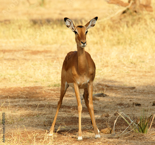 Fotobehang Female Impala