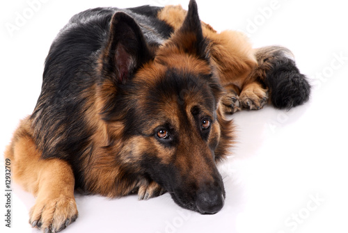 Poster Chien German shepherd on a white background.