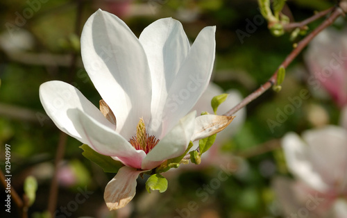 Photo  Closeup of magnolia tree blossom