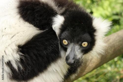 Aluminium Prints Camel Ruffled lemur