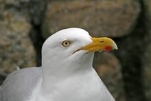 Silbermöwe, Larus Argentatus, Herring Gull