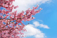 Blooming Cherry Tree Branches Against A Cloudy Blue Sky