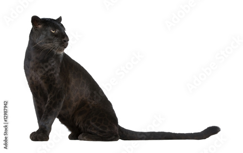 Poster Leopard Black Leopard (6 years)