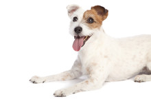 Jack Russell Terrier Lying Down