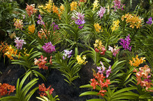 Orchids In Orchid Garden Of Ro...