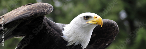 In de dag Eagle Panorama of Bald Eagle readying for flight