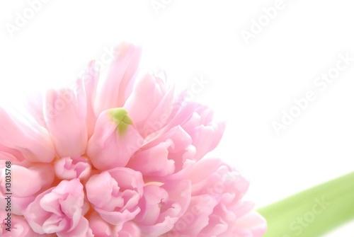 Fototapeta pink hyacinths obraz na płótnie