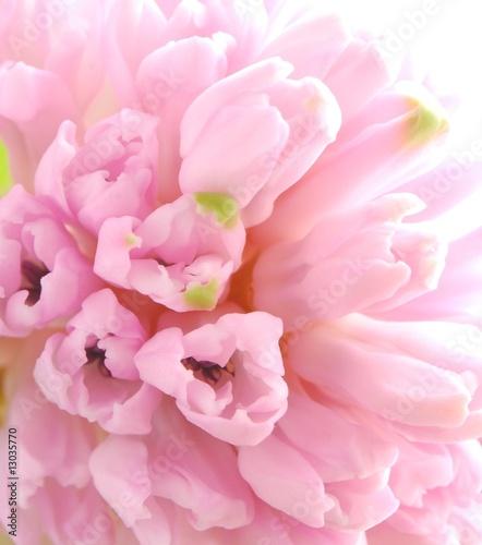 Fotobehang Macro pink hyacinths
