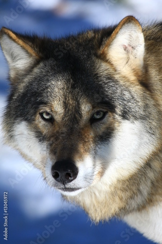 Canvas Prints Wolf wolf
