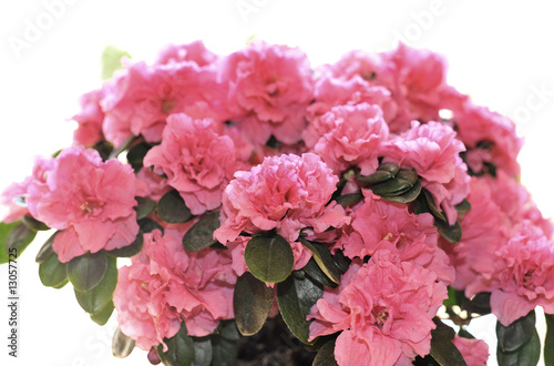 Papiers peints Azalea Azalea in flowerpot isolated on white