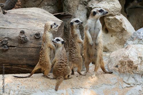 Photo  groupe de suricates
