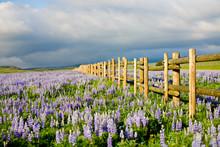 Wildflowers In Wyoming - Lupine Flowers