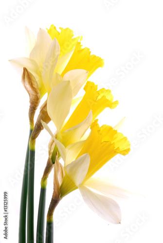 Papiers peints Narcisse beautiful yellow daffodil flowers