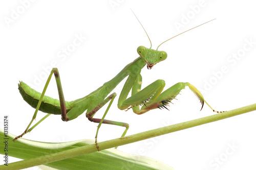 Fototapeta  mantis isolated on white background