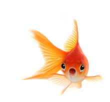 Shocked Goldfish Isolated On W...