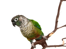 Green Cheek Conure On A Tree B...
