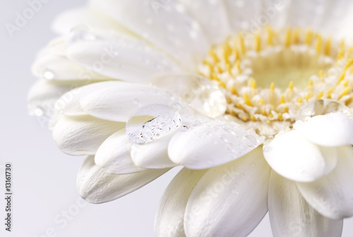 Stickers pour porte Gerbera white daisy with water drops