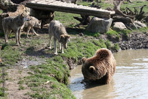 Fototapeta bear and wolfpack encounter