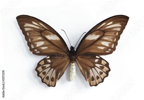 Deurstickers Vlinder Ornithoptera priamus urvillianus (female)