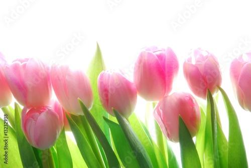 Fotobehang Macro pink tulips