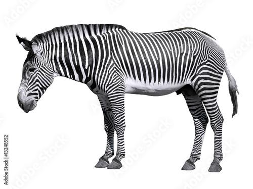 Poster de jardin Zebra Détourage d'un zèbre de Grévy