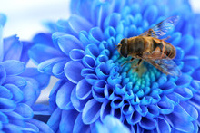 Bee On Blue Aster