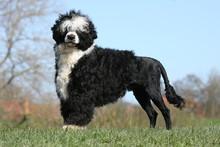 Portugiesischer Wasserhund5
