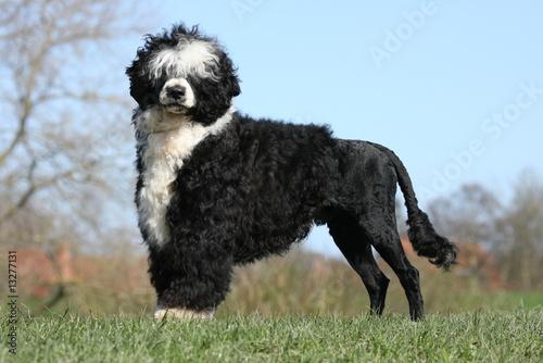 Valokuva  Portugiesischer Wasserhund5