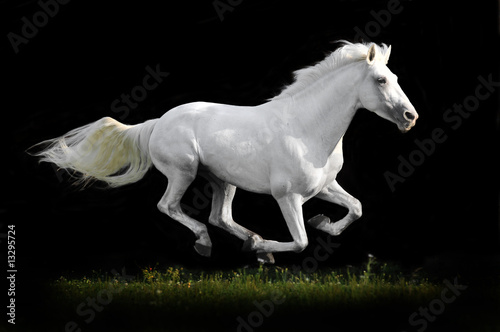 Foto white horse on black