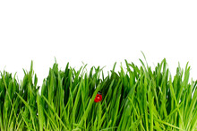 Isolated Green Grass And Ladybug On White Background