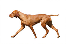 Hungarian Vizsla Isolated With...