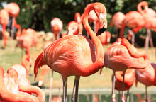 Red Flamingo In A Park In Flor...