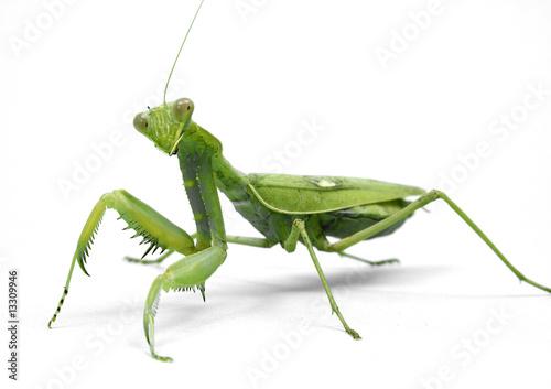 Obraz na plátně  Mantis religiosa