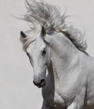 Fototapeta Horses - white horse