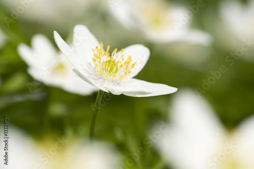 Photo Anemone  spring flowers