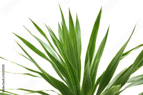 Papiers peints Bambou dracaena reflexa lam sur un fond blanc