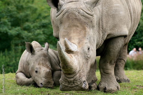 White Rhinoceros; mother and calf