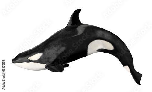 Détourage d'une orque ou épaulard