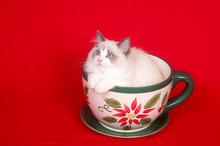 Ragdoll In A Large Coffee Mug