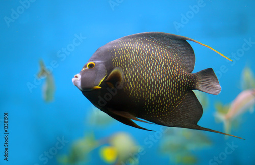 Photo French Angelfish