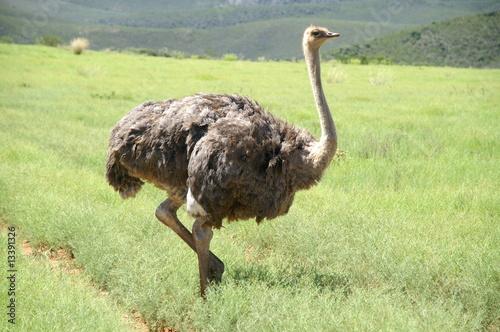 Deurstickers Struisvogel Ostrich