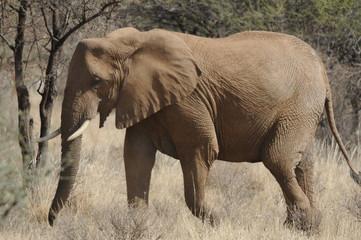 Obraz na Szkle Słoń African Bush Elephant (Loxodonta africana) at Samburu park