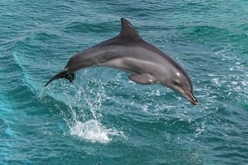 Fototapeta Dolphin Leap
